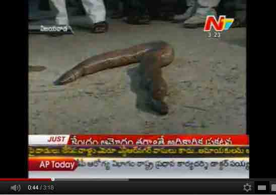 Two Headed Snakes Are In Demand One Caught In Vijayawada