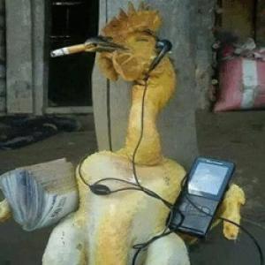Bird Flu Jokes Rooster Fb Status